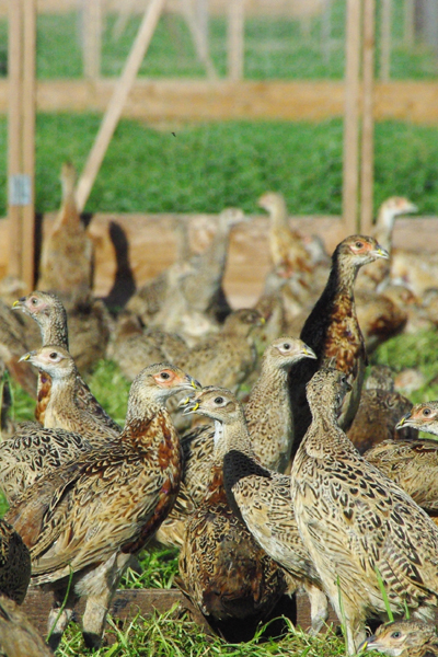 Pheasant and Partridge Rearing